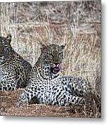Leopard Mates Metal Print