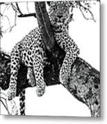 Leopard - Panthera Pardus. Leopard Will Metal Print
