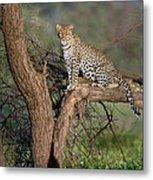 Leopard Panthera Pardus Sitting Metal Print