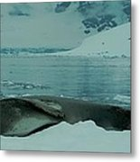 Leopard Seal Hauled Out Metal Print