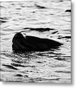 leopard seal peaking and breathing above water Antarctica Metal Print