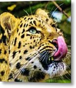 Leopard Waiting For His Lunch Metal Print