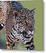 Jaguar Walking Portrait Metal Print