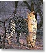 Leopard With African Wild Cat Kill Metal Print