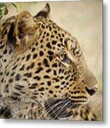 Leopard Zimbabwe Metal Print