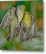 Lesser Goldfinch Females Fighting Metal Print