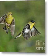 Lesser Goldfinch Pair In Flight Metal Print