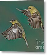 Lesser Goldfinch Pair In The Air Metal Print