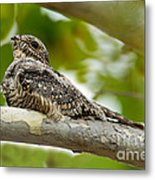Lesser Nighthawk On Branch Metal Print