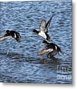 Lesser Scaup Ducks Metal Print