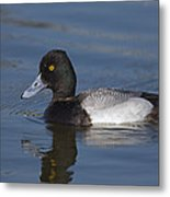 Lesser Scaup Male Metal Print