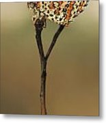 Lesser Spotted Fritillary Metal Print by Alon Meir