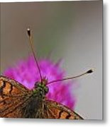 Lesser Spotted Fritillary Metal Print by Amos Dor