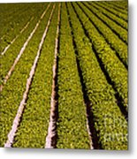 Lettuce Farming Metal Print