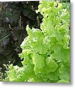 Lettuce Run Amok Metal Print