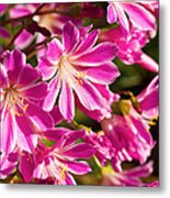 Lewisia Cotyledon Flowers Metal Print