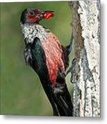 Lewiss Woodpecker With Fruit In Beak Metal Print