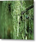Lichen Hangs From A Tree  Corvallis Metal Print