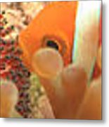 Life Cycle Of Anemone Fish Metal Print
