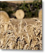 Life Cycle Of Wheat - Harvesting Metal Print