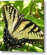 Light Form Female Tiger Swallowtail Metal Print