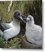 Light-mantled Albatross Feeding Chick Metal Print