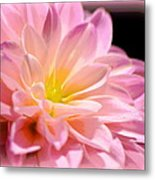 Light Pink Dahlia 1 Metal Print