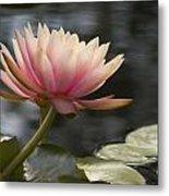 Light Pink Water Lily Metal Print