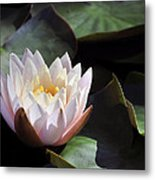 Light Pink Water Lily Metal Print