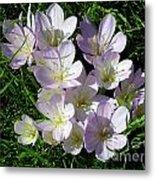 Light Purple Crocus Flowers In Spring Metal Print