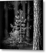 Lightpainting The Pine Forest New Growth Metal Print by Dirk Ercken