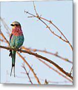 Lilac Breasted Roller Perching On A Metal Print