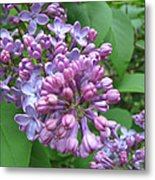 Lilac Buds And Blossoms Metal Print
