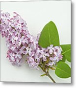 Lilac Flowers - White Background Metal Print