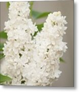 Lilac (syringa Vulgaris 'angel White') In Flower Metal Print