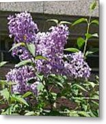 Lilacs Up Against The Wall Metal Print