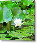 Lilly Pad Metal Print