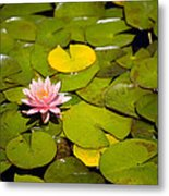 Lilly Pond Pink Metal Print by Peter Tellone