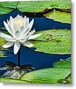 Lilly White Metal Print