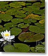 Lily And Pads Metal Print