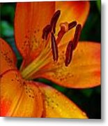 Lily Closeup Metal Print