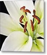 Lily In Winter Metal Print