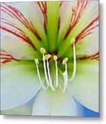 Lily -lilium Metal Print