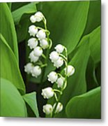 Lily-of-the-valley  Metal Print by Elena Elisseeva