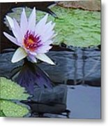 Lily Purple And White Metal Print