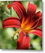 Lily Red  Metal Print