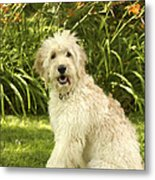 Lily The Goldendoodle With Daylilies Metal Print