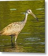 Limpkin With A Snack Metal Print