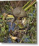 Limpkin With Lunch Metal Print