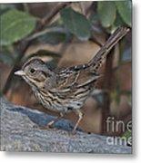 Lincolns Sparrow Metal Print